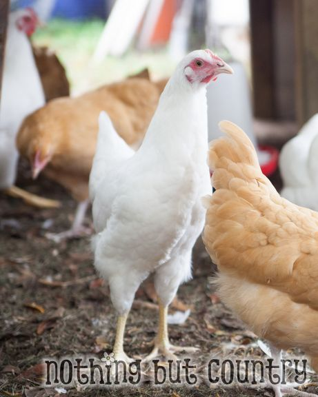 Our Chickens | NothingButCountry.com